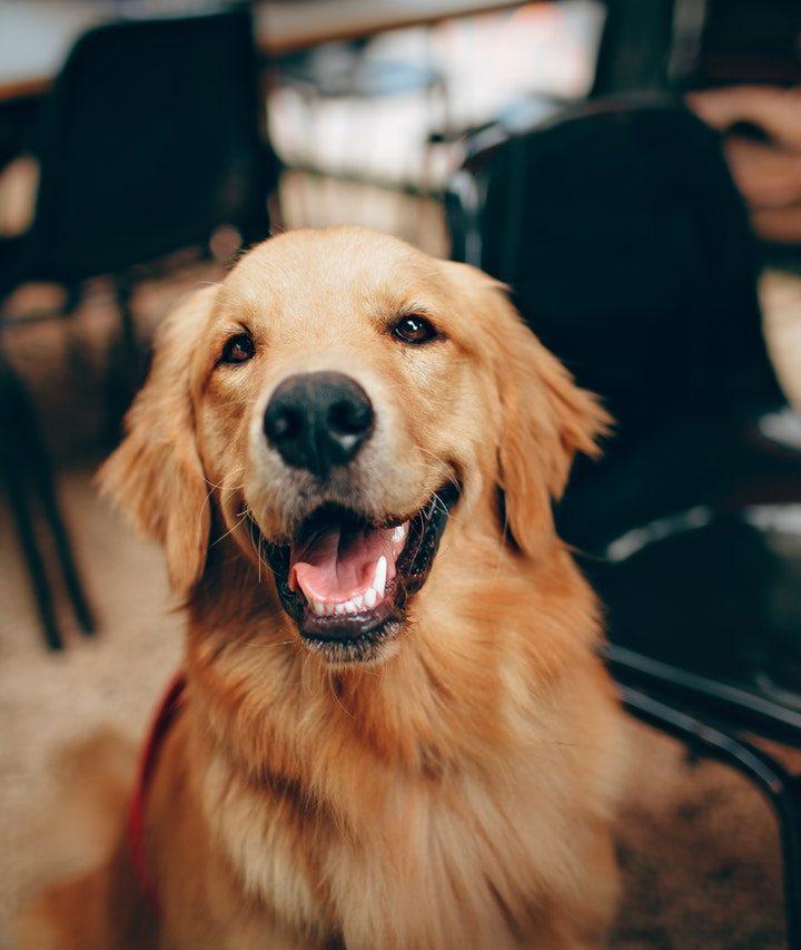 ¿Puede un perro comer cerezas?